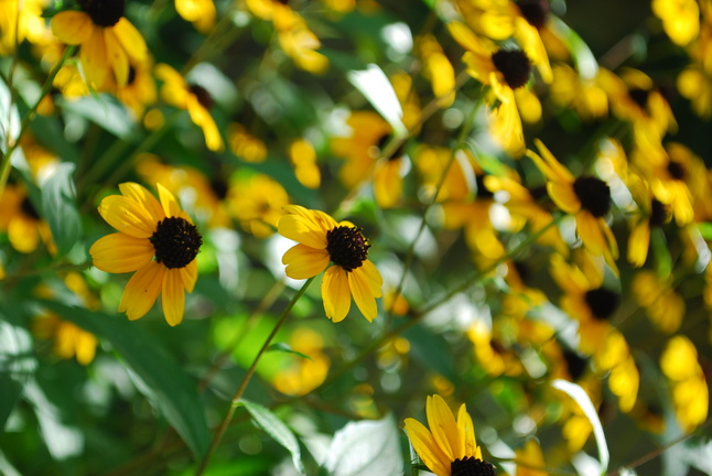 br-eyed susan.JPG
